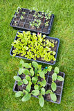 Seedling Trays Royalty Free Stock Photography