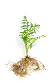 Seedling of valerian Stock Photos