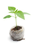 Seedling vegetable plants grown in a peat briquette Royalty Free Stock Photo