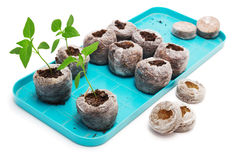 Seedling vegetable plants grown in peat tablet on a pallet Royalty Free Stock Photography