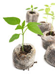 Seedling vegetable plants grown in peat tablet Stock Photography