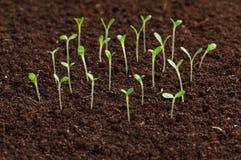 Seedling verde Imagem de Stock Royalty Free