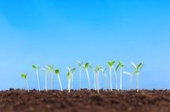 Seedling verde Foto de Stock