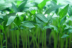 Seedling verde da pimenta Imagem de Stock