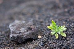 Seedling verde que sprouting para fora do cascalho vulcânico Fotografia de Stock Royalty Free
