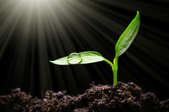 Seedling. With water drop and sunlight Stock Photo