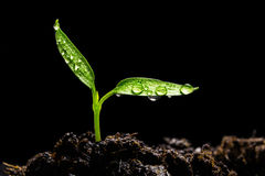 Seedling. With water drops on black background Royalty Free Stock Photo