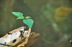 Seedling in water. Tropical Rain Forest stock photography