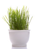 Seedling wheat in white porcelain cup Stock Images