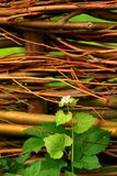Seedling at a willow fence Stock Photo