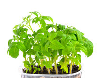 Seedling of young tomato plant in capacity with  land Royalty Free Stock Photo
