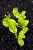 Seedlings Imagem de Stock Royalty Free