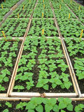 Seedlings Fotografia de Stock