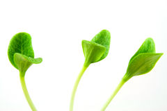 Seedlings. 3 seedlings isloated on a white background Royalty Free Stock Images