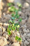 Seedlings Royalty Free Stock Photo