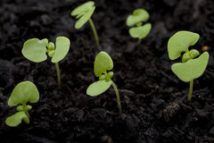 Seedlings. Basil seedlings emerging from potting compost. Shallow DOF Royalty Free Stock Photos