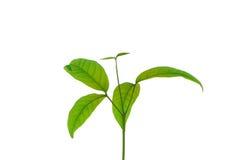 seedlings Foto de Stock Royalty Free
