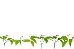 seedlings Fotos de Stock Royalty Free