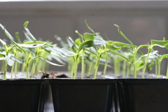 Seedlings Stock Photography