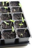 seedlings Image libre de droits