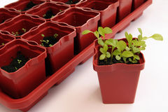 Seedlings. An isolated view of new seedlings in small plastic planting pots Stock Images