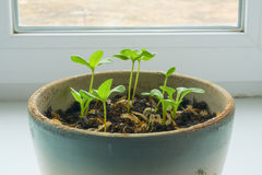 seedlings Image stock