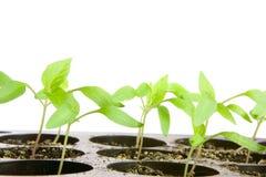 Seedlings. Pepper seedlings in small pots Stock Photography