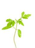 Seedlings. Tomato seedlings on white ground Royalty Free Stock Photo