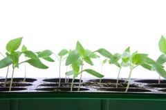 Seedlings. Pepper seedlings in small pots Stock Photos