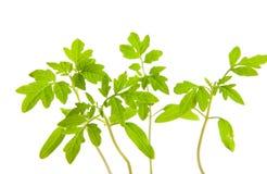 Seedlings. Tomato seedlings on white ground Stock Photography