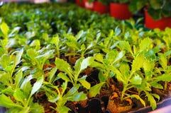 Seedlings aster in farmer, gardener shop,  green leaf background Stock Photo