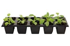 Seedlings of aster flower Stock Images