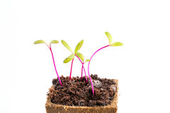 Seedlings of beetroot or red beet in peat pot stock images
