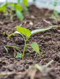 Seedlings of Bell pepper in the ground. royalty free stock photos