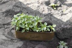 Seedlings of bell pepper stock photo