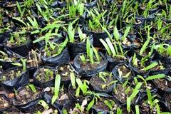 Seedlings in black plastic bags. Stock Photo