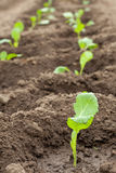 Seedlings cabbage. Rows in ground Stock Photo