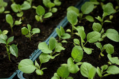 Seedlings of cabbage Stock Photos