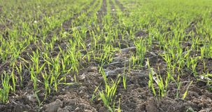 Seedlings cereals Stock Image