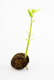 Seedlings. Chance seedlings. Identifying the parent plants of a chance seedling may be difficult. It may be necessary to genetically analyse the seedling and Royalty Free Stock Photo