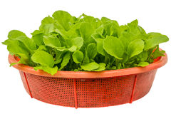 Seedlings of Chinese cabbage leaves isolated white background Stock Photos