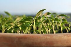 Seedlings in clay pot Stock Images