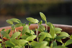 Seedlings in clay pot Royalty Free Stock Photography