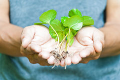 Seedlings of coffee in hand. Stock Photography