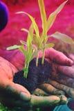 Seedlings of corn Stock Images