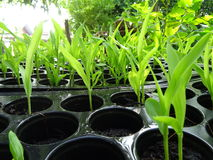 Seedlings of corn Stock Photos