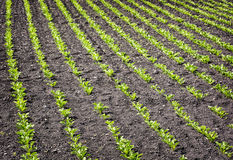 Seedlings crop field in spring, agricultural theme Royalty Free Stock Images