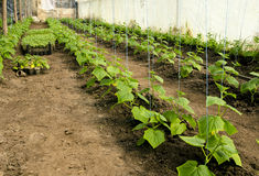 Seedlings of cucumbers in a greenhouse Royalty Free Stock Images