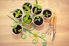 Seedlings in cups Stock Photos