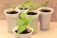 Seedlings in cups Stock Photo